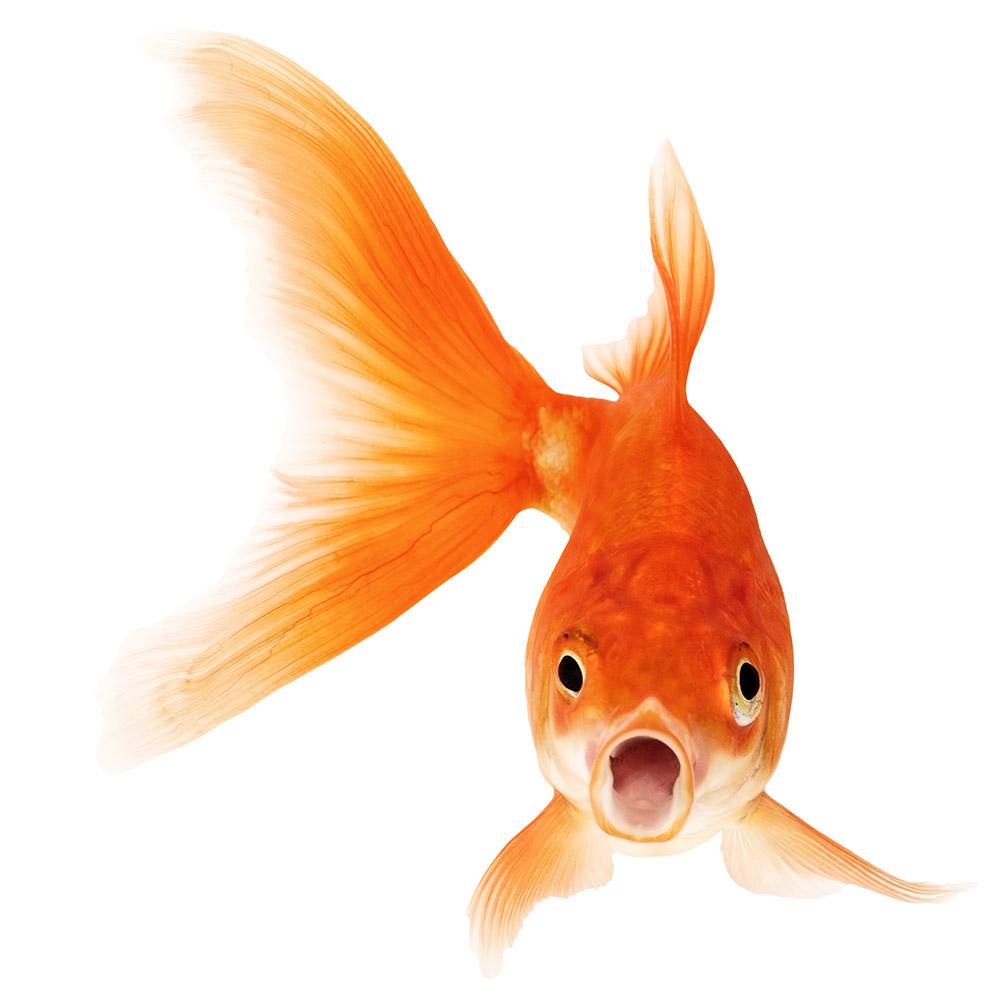Webdesign Webseite-erstellen lassen Goldfisch
